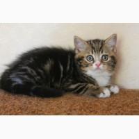 Питомник шотландских кошек предлагает вислоухих и прямоухих котят