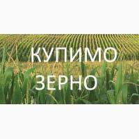 Купимо кукурудзу будь-якої якості (вологу, не кондицію, з підвищеною зерновою), Дорого