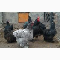 Кохинхин инкубационные яйца