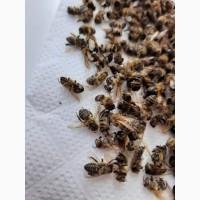 Пчелиный подмор ( хитозан пчел )