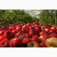 Закупка яблок опт. Куплю яблоки по выгодной цене