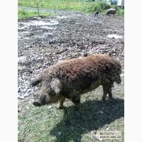 Продажа свиней породы Мангалица