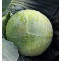 Крупный опт молодой белокачанной капусты - кататор. Урожай - июль