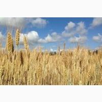Пшениця озима Платин