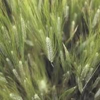 Реформ пшениця озима РЖТ
