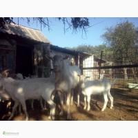 Продам племенных зааненских козликов