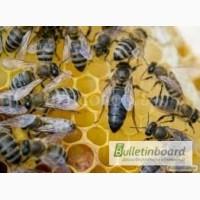 Продам пчеломатки Карпатка тип Вучковский