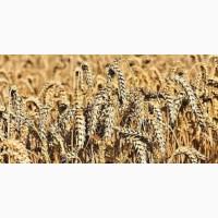 Лінус озима пшениця