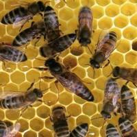 Реалізуємо плідні бджоломатки(Пчеломатки) Степної украинської та Карпатки