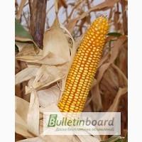 Семена кукурузы. Доставка по Украине