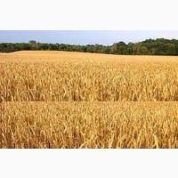 Семена озимой пшеницы СМУГЛЯНКА
