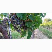 Продам Виноград, Каберне, Мерло, Виноматериал