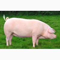 Премикс для свиней старт, откорм, финиш