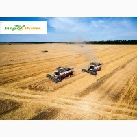 Семена озимой пшеницы Шпаловка, (1-я репродукция ) урожай 2021 г