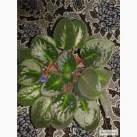 Продам взрослые молоденькие цветущие фиалки (есть разные расцветки)