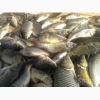 Реализуем пресноводною живую рыбы оптом и в розницу: Карп, Толстолобик, Щука, Сом