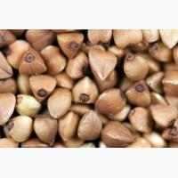 Семена гречихи сорт ДЕВЯТКА 1 репрод