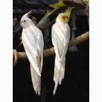 Попугаи Карелы и Какарики
