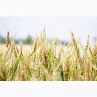 Семена озимой пшеницы ЗИСК