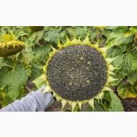 Семена подсолнечника Савана устойчивые к заразихе(засухе) с 7 рас