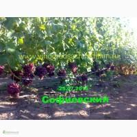 Саженцы винограда и лоза