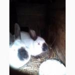 Кролики Калифорнийская порода