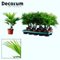 Прямые поставкт с Голландии комнатных Растений