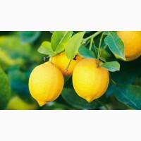 Продажа цитрусовых оптом: лимон