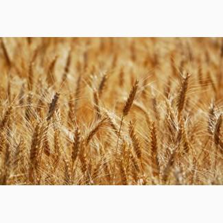 Насіння Озимої пшениці АМПЕР, еліта (реалізуємо від 1т)