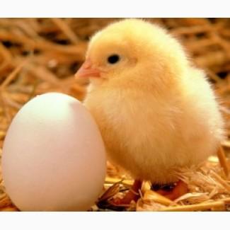 Інкубаційне яйце