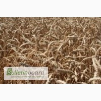 Семена озимой пшеницы Богдана