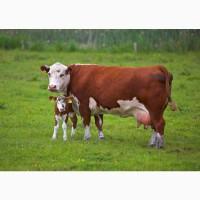 Куплю коров в Харьковской обл