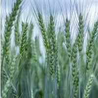 Семена озимой пшеницы НИВА ОДЕССКАЯ