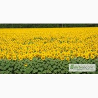 Семена подсолнечника ЕС Петуния (Euralis Semenses)+Подарок